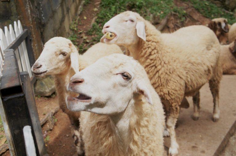 Domba-Hewan-Kurban-Idul-Adha