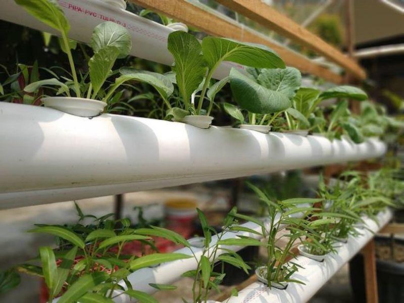 Contoh-tanaman-hidroponik